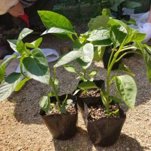 画像:5月1日(金) 新貝さんと苗植えをしましたよ☆