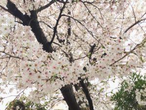 画像:3月30日(火)園庭の様子♪